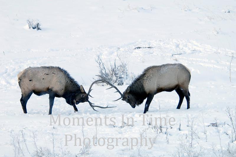 Elk joust