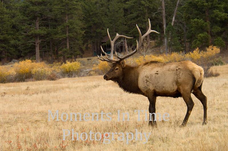 Bull elk in Colorado