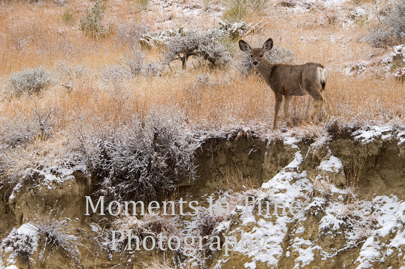 Mule deer in winter on hillside