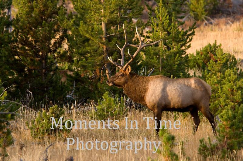 Bull elk in pine 1