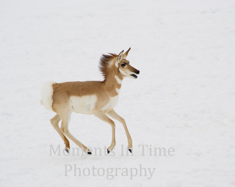 Young pronghorn running in snow.