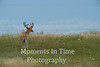 White tailed buck in grassland
