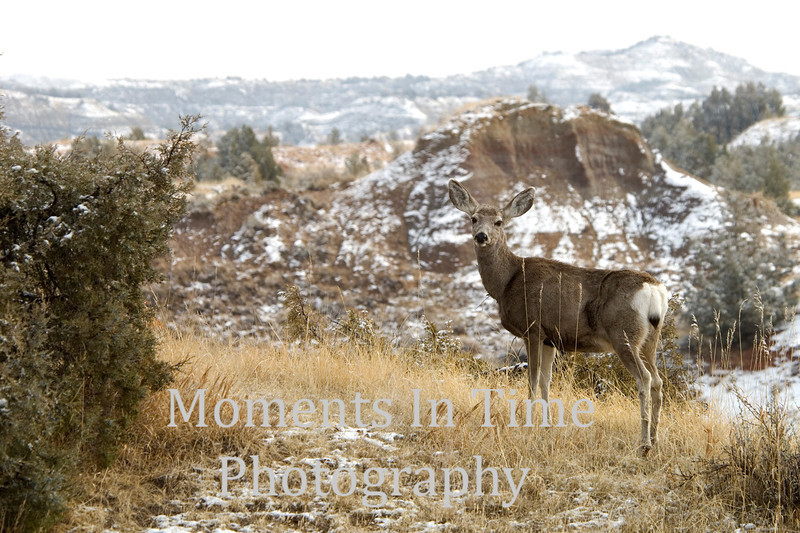 Mule deer on ridge in winter