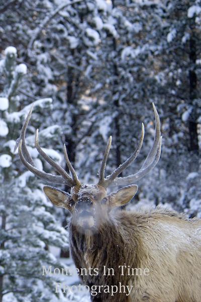 Elk portrait in winter with breath