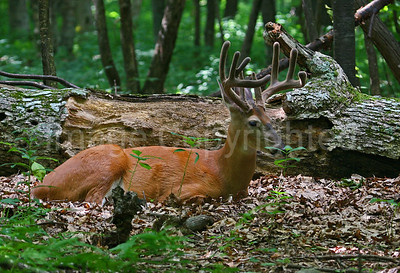 Buck bedding down - 7/21/11