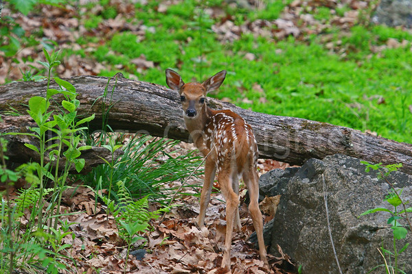 Fawn in woods - 07/01/11