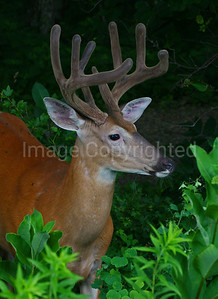 Nice buck at Shenandoah - 7/21/11