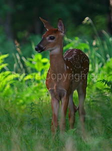 Fawn at Shenandoah - 7/3/11