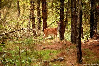 Deer 008 (September 2011)