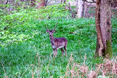 Deer 017