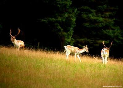 Deer 021