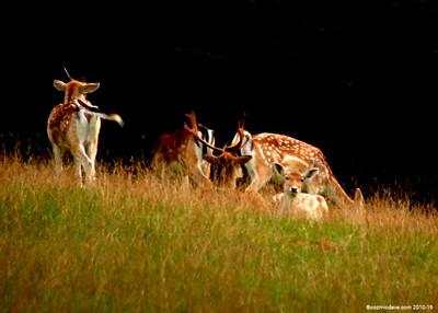 Deer 018 (October 2014)