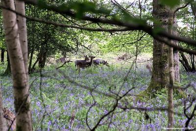 Deer 026