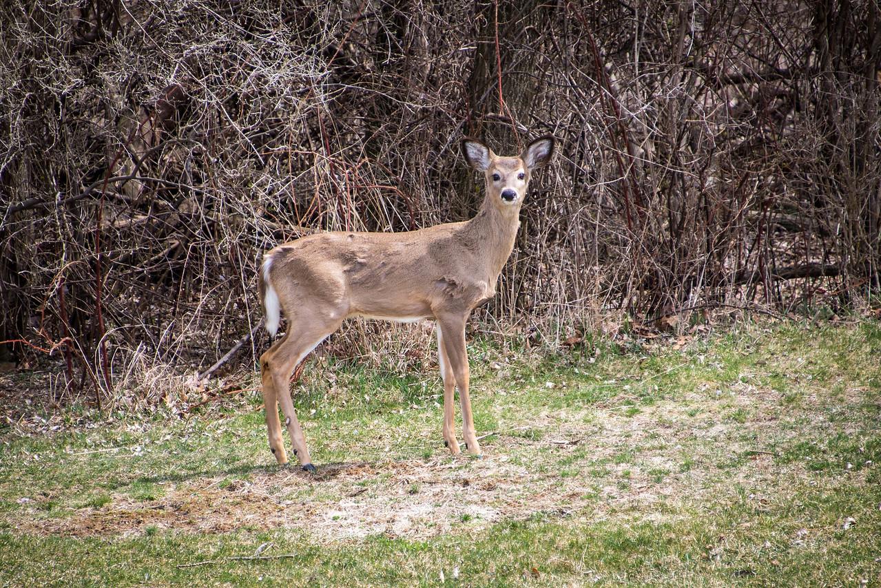 Deer eye-balling me as it slowly retreats to the woods - Wilson Farm Park - April 2013