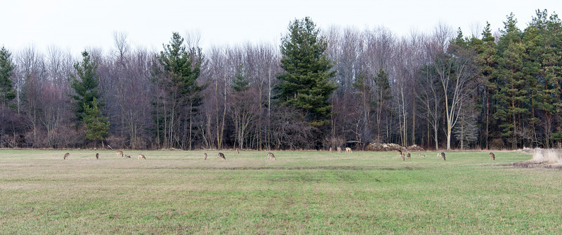 19 Deer grazing off of Wallace Road in Grindstone City - April 2014