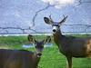 Deer 24