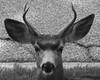 Deer 23