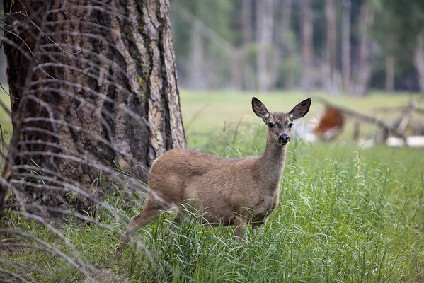 Deers at Yosemite
