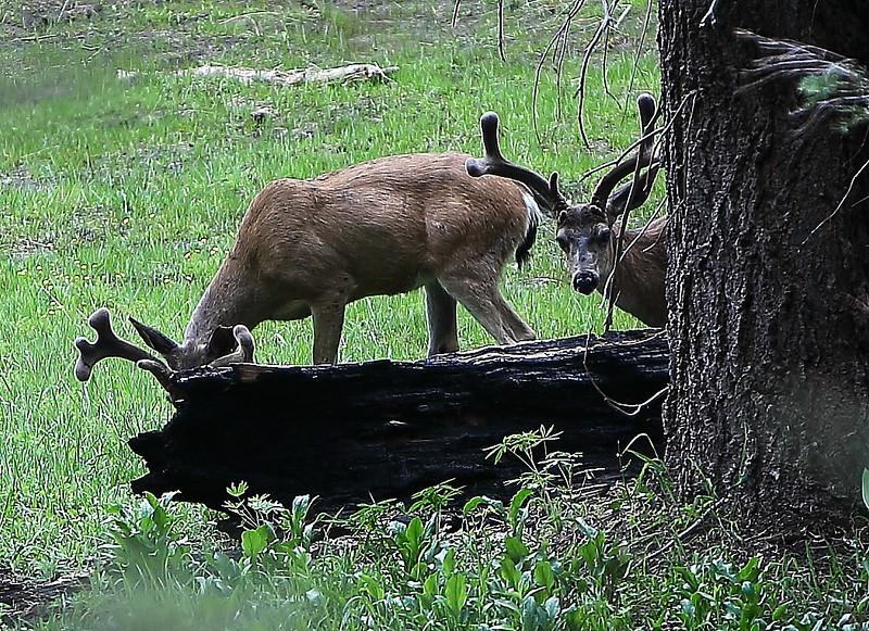Deers at Yosemite