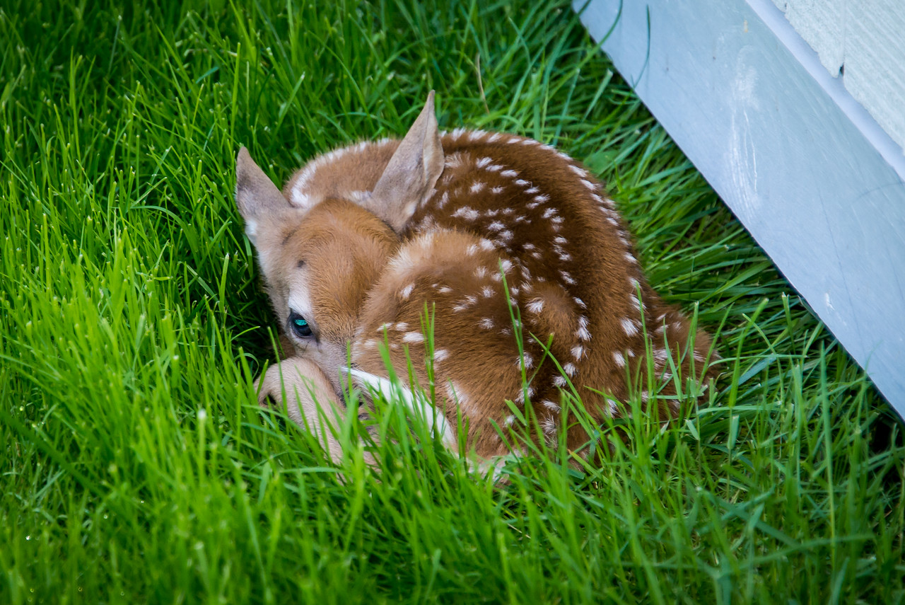 Abandoned Fawn along side of my shed.  (The Doe came back later in the day to claim the Fawn) - May 2013