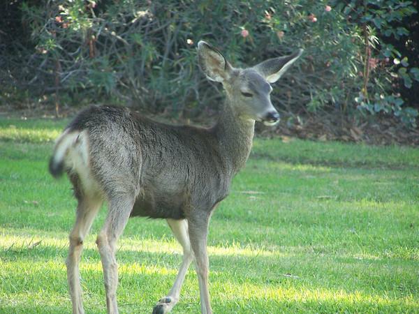 Deer 14