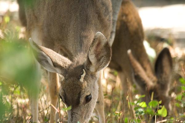 Crystal's Deer