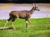Deer 27