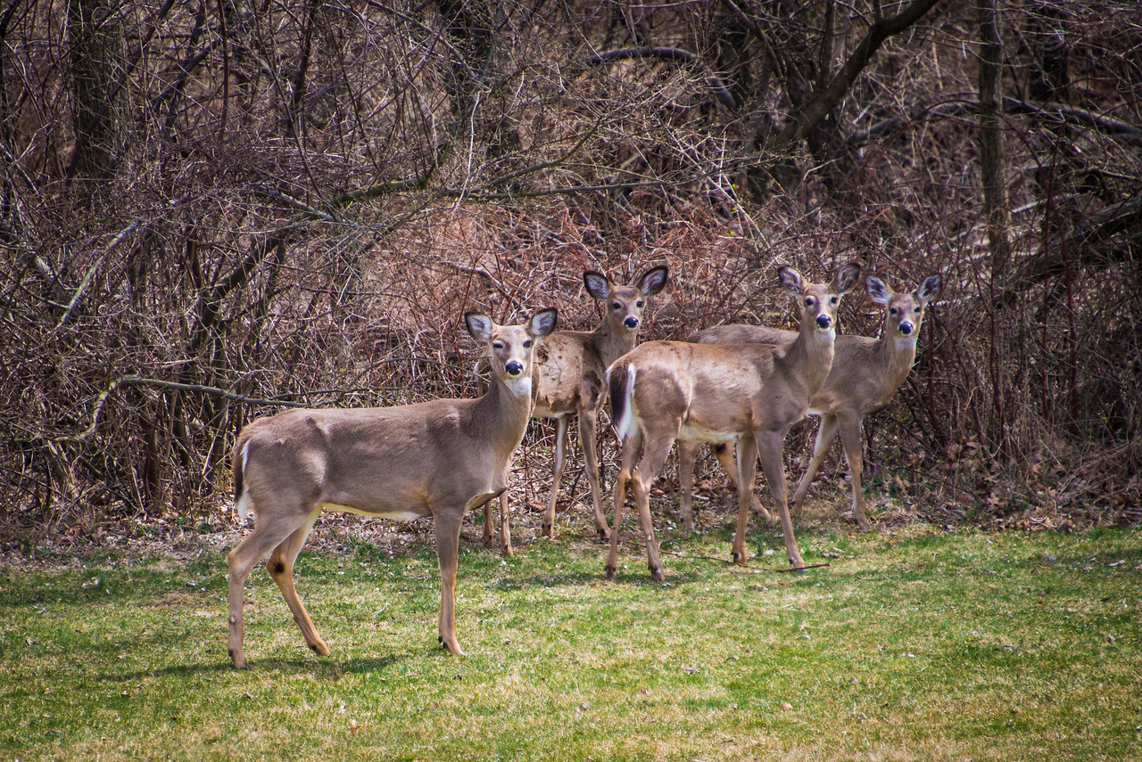 Deer eye-balling me as they slowly retreat to the woods - Wilson Farm Park - April 2013