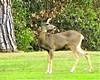 Deer 42