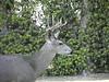 Deer 29