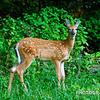 Deer at McHose Park