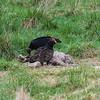 Turkey Vultures feasting on a Deer carcass.
