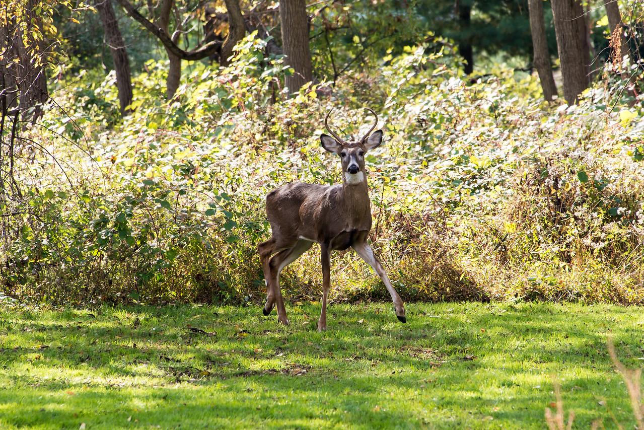 Buck at Wilson Farm Park, October 2013