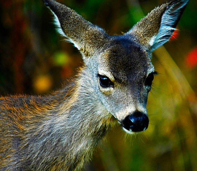 Juvenile Back-Tailed Deer