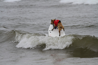 Del Mar Dog Surfing Contest, Del Mar Ca