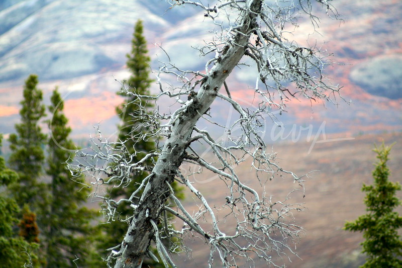 My favorite tree in Denali National Park & Preserve