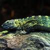 Lizard (?)