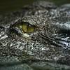 Aligator's eye