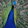Peafowl/Peacock