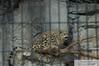 _DSC0013 - Baby Snow Leopard