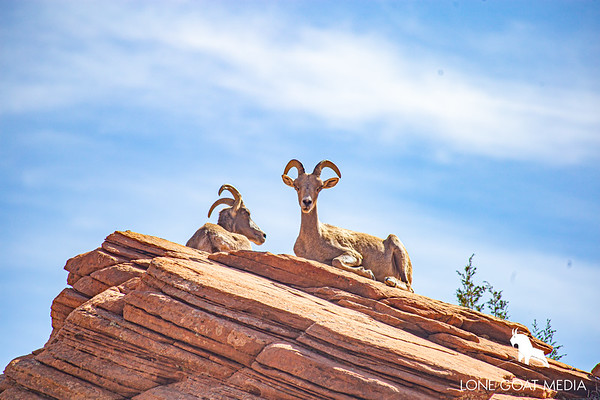 Zion National Park Desert Bighorn ewe