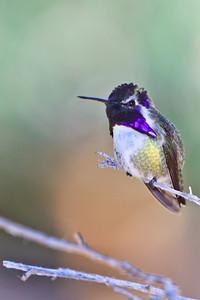 #33 Humming Bird