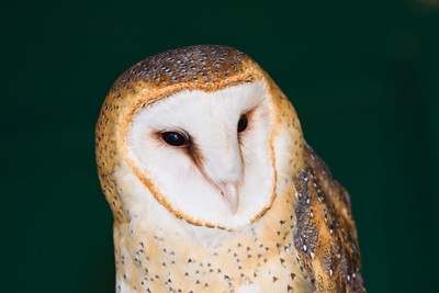 #32 Owl