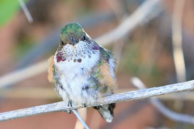 #34 Humming Bird