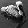 Bird 105 BW