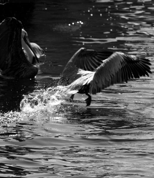 Bird 118 BW