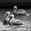 Bird 129 BW