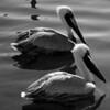Bird 116 BW