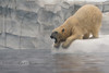 Begging like a Puppy - Polar Bear @ The Detroit Zoo