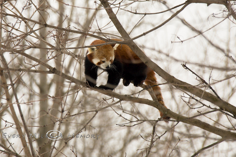 Red Panda in a Tree @ The Detroit Zoo